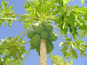 health benefits papaya leaves