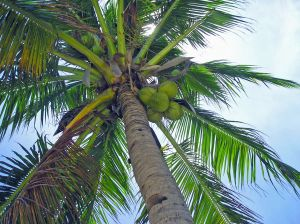 best coconut oil brands, where to buy coconut oil